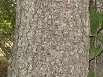 écorce d'aulne